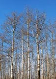 白杨木结构树 免版税库存照片