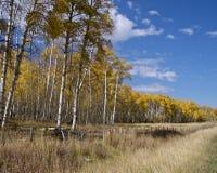 白杨木范围 库存照片
