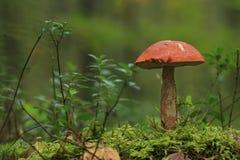 白杨木蘑菇 免版税库存照片