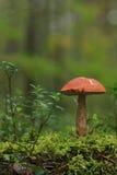白杨木蘑菇 库存照片