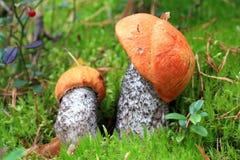 白杨木采蘑菇二 库存照片