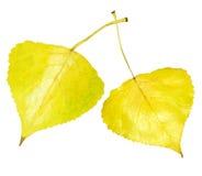 白杨木金黄叶子 库存图片