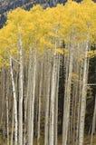 白杨木颤抖的立场结构树 免版税库存照片