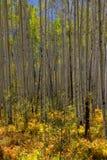 白杨木高大的树木 库存照片