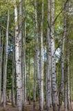 白杨木高大的树木 免版税库存照片