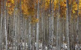 白杨木高大的树木 库存图片