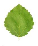 白杨木绿色叶子  免版税库存图片