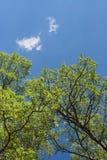 白杨木绿色在蓝天和云彩背景离开  库存图片