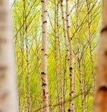 白杨木 免版税图库摄影
