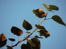 白杨树分支与绿色叶子的 免版税库存照片