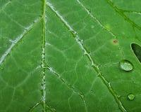 白杨树叶子宏观雨和露水 免版税库存照片