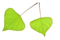 白杨树叶子 免版税图库摄影
