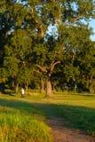 白杨树在日落的城市公园 免版税库存图片