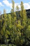 白杨树在秋天 库存照片