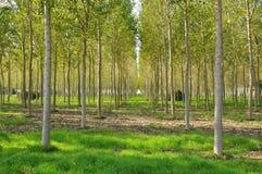 白杨树域在伦巴第,意大利。 免版税库存图片