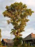 白杨树是在日落光的一个巨人 免版税库存照片