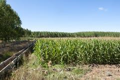 白杨树树丛和玉米田 库存图片