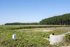 白杨树树丛和玉米田 图库摄影