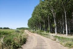 白杨树树丛和玉米田 免版税库存照片