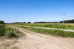 白杨树树丛和玉米田 免版税库存图片