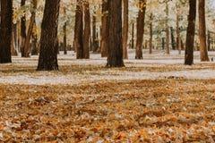 白杨树树丛 树森林与黄色叶子的 库存照片