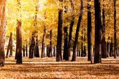白杨树树丛 树森林与黄色叶子的 免版税库存图片