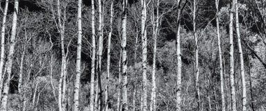 白杨树森林全景黑白的 免版税库存照片