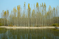 白杨树森林和湖 库存图片