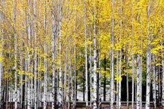 白杨树森林在秋天 免版税库存照片