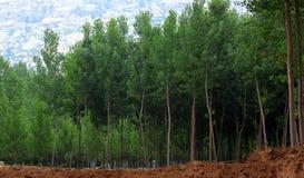 白杨树森林 免版税图库摄影