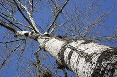 白杨树白色 库存图片