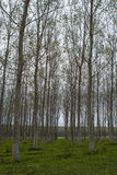 白杨树的领域 免版税库存照片