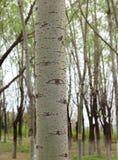 白杨树眼睛 图库摄影