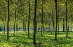 白杨树种植园 免版税库存图片