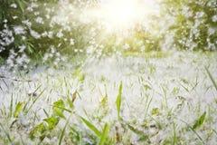 白杨树绒毛在绿草和飞行在通过在阳光的空气 强的变态反应原,健康危害概念 免版税库存图片