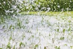 白杨树绒毛在绿草和飞行在通过空气 E 强的变态反应原 免版税库存照片