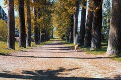 白杨树胡同与染黄的在晚夏离开 免版税库存照片