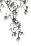 白杨树花 库存照片