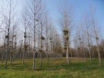 白杨树领域 库存照片