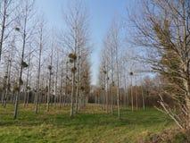 白杨树领域 图库摄影