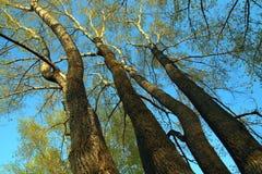 白杨树高大的树木 免版税图库摄影
