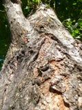 白杨树 库存图片