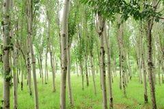 白杨树 免版税库存照片