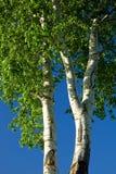 白杨白杨树白色 免版税库存图片