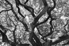 黑白查寻大树 图库摄影