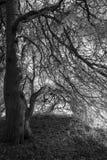 黑白树,森林背景 免版税库存照片