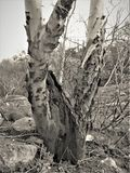 黑白树 库存照片