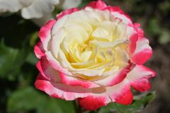 白桃红色美丽充分在一个晴天上升了 库存照片
