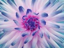 白桃红色蓝色大丽花的花 瓣色的光芒 特写镜头 在绽放的美丽的大丽花设计的 免版税图库摄影