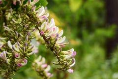 白桃红色野生兰花在泰国的雨林里 免版税库存照片